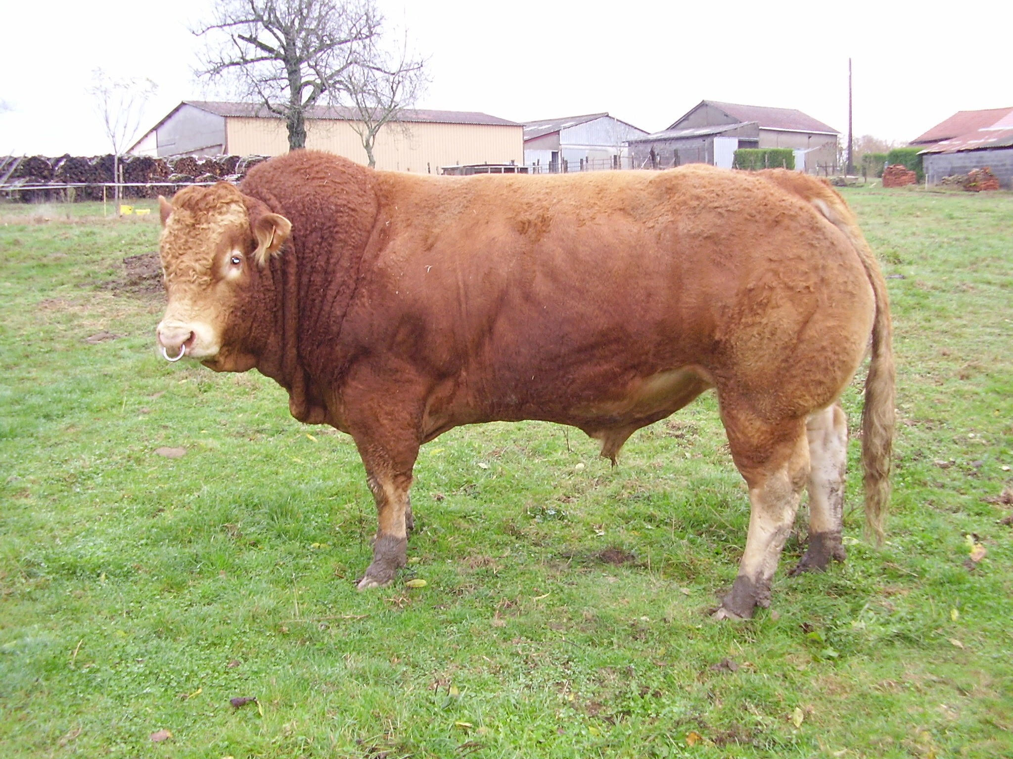 Bolide - Limousin - Beef Sire