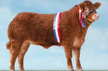 Limousin Cattle - Red Ladies Derby