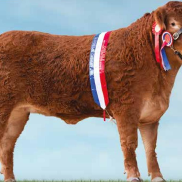 Limousin Cattle – Red Ladies Derby