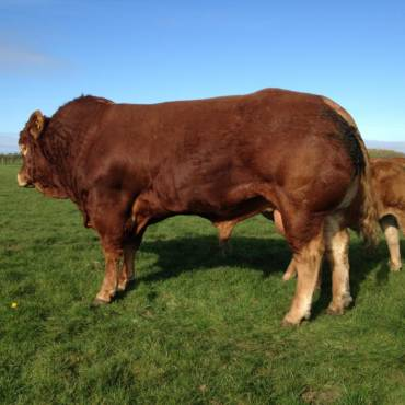 EBV accuracy improvement set to benefit Limousin breeders